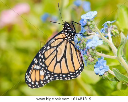 Monarch butterfly on a baby blue Chinese Forget-me-not flower in colorful summer garden