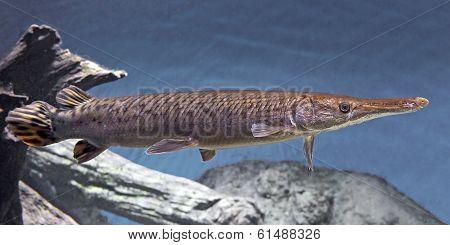 Shortnose Gar (lepisosteus Platostomus)