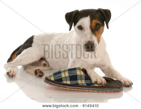 Jack Russel Terrier With Slipper