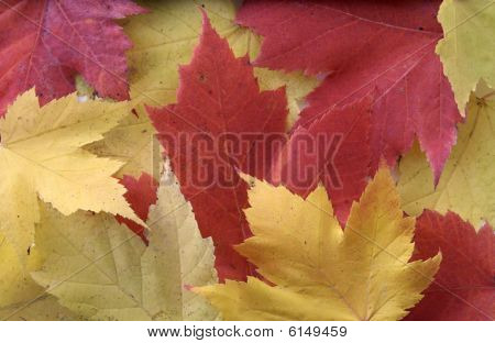 Yellow And Red Leaf Background