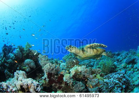 Hawksbill Turtle on coral reef