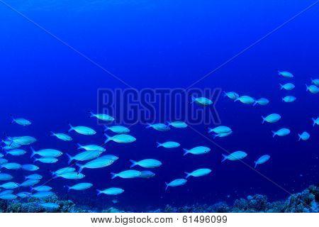 School of Sardine Fish