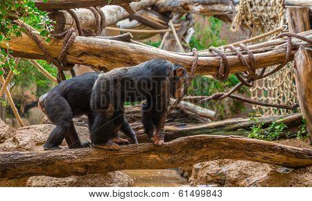Chimpanzees Walking on a Tree