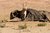 stock photo of jackal  - Hungry Black backed jackal eating on a hollow carcass in the dry desert - JPG