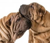 stock photo of shar pei  - dog love  - JPG
