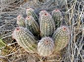 image of xeriscape  - bunch of hedgehog cacti - JPG