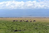 picture of wildebeest  - Wildlife Bull Blue - JPG