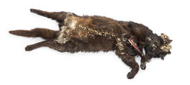 stock photo of decomposition  - Roadkill cat in state of decomposition - JPG