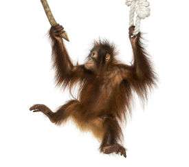 stock photo of orangutan  - Young Bornean orangutan hanging on to a branch and rope - JPG