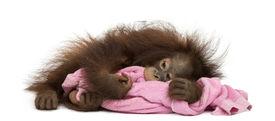 picture of saddening  - Young Bornean orangutan tired - JPG