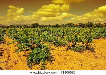 view of a vineyard with ripe grapes in a mediterranean country at sunset