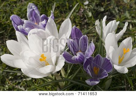 Crocus flowers, Sheffield UK