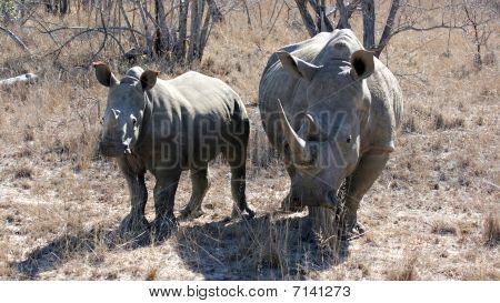 White Rhino Female And Calv