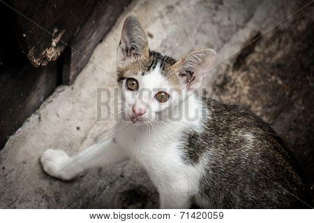 Close Up Portrait Stray Cat Watching Camera