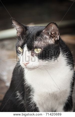 Close Up Face Of Black And White Stray Cat Watching Camera