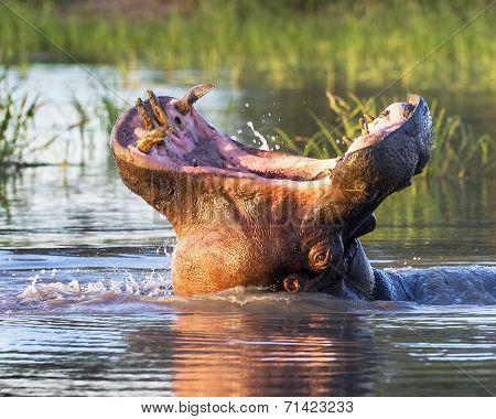 Roaring Wide mouth Hippopotamus