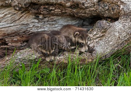 Baby Raccoons (procyon Lotor) Line Up