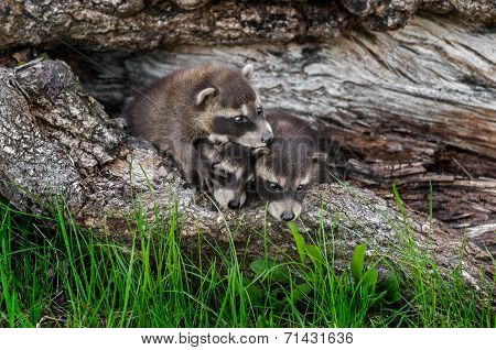 Trio Of Baby Raccoons (procyon Lotor) Climb Over Each Other