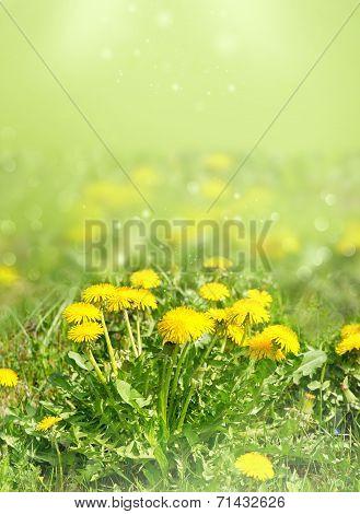 Dandelion Flowers In Green Grass