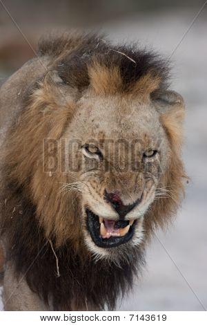 Mapogo Lion