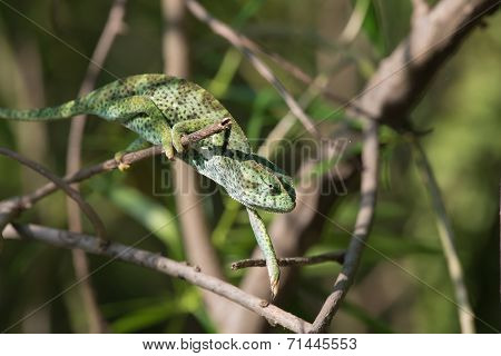 A Chameleon (chamaeleo Senegalensis) Slowly Reaching For The Next Branch