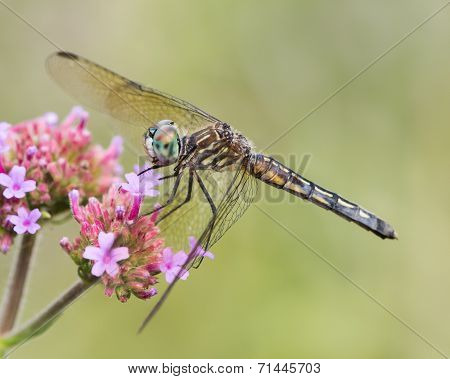 Blue Dasher VIII