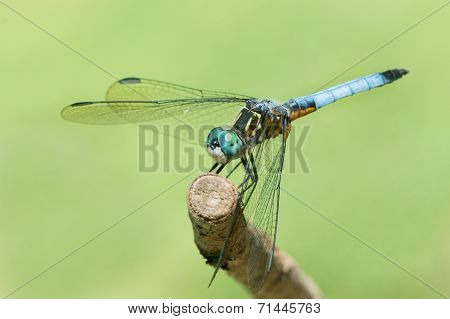 Blue Dasher V