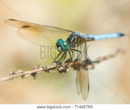 Blue Dasher IV
