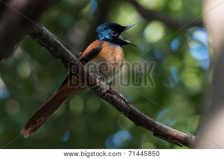 A Female African Red-bellied Flycatcher (terpsiphone Rufiventer) With Something To Say