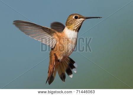 A Female Rufous Hummingbird (selasphorus Rufus) Hovering In Flight