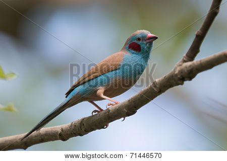 A Male Red-cheeked Cordon Bleu (uraeginthus Bengalus) Perched On A Branch