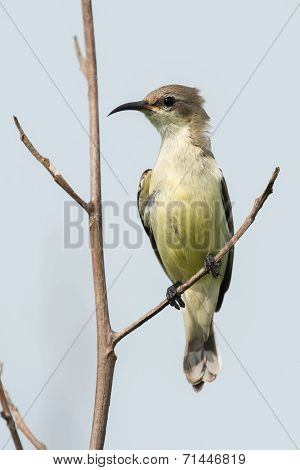 A Young Beautiful Sunbird (nectarinia Pulchella) Perched On A Branch