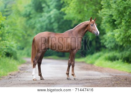 Chestnut horse standing on a road