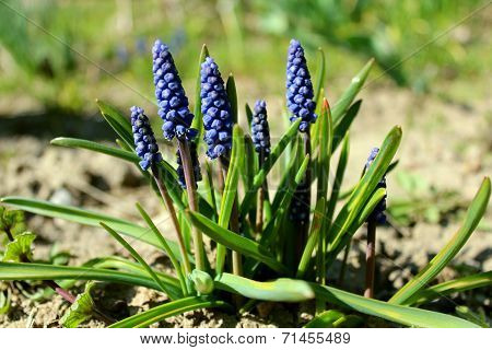 Some Beautiful Blue Flowers Of Muscari