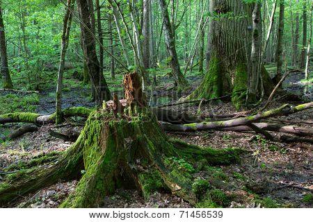 Moss Wrapped Oak Tree Stump