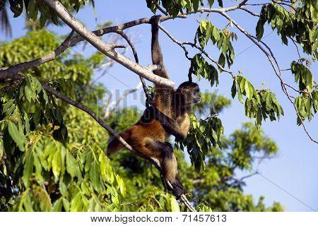 Spider Monkeys of the genus Ateles