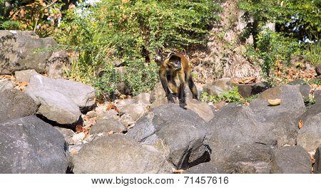 Spider Monkeys jumps on stones