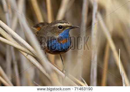 Male Bluethroat Red Star-shaped Sitting On A Branch Cane