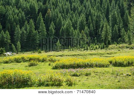 Meadow, Flowers And Forest In The Mountains