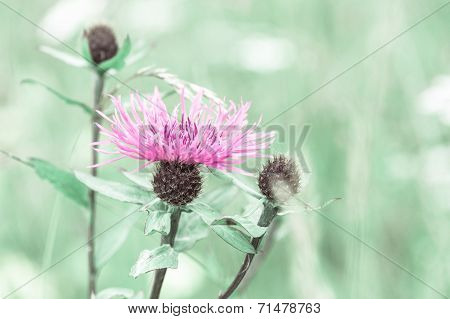 Amazing Sunrise At Summer Meadow With Pink Milk Thistle Wildflower. Abstract Floral Background In Vi