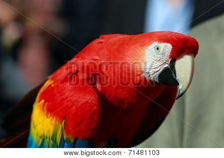 Parrot - Red Blue Macaw