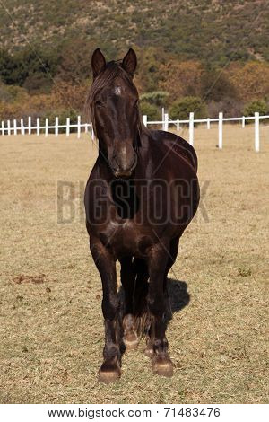 Large Strong Brown Colt Horse