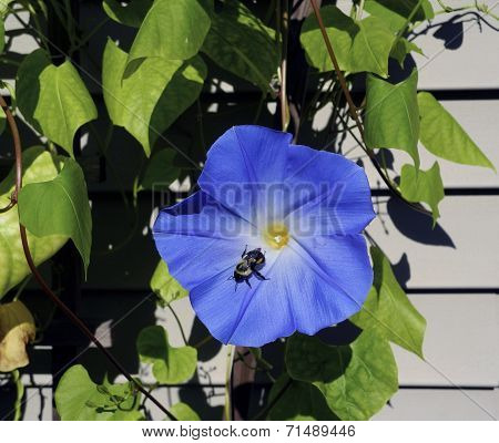A Summer Morning Glory