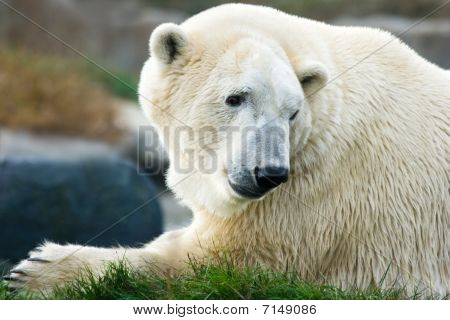 Polar Bear Looking Backward