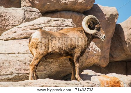 Bighorn Sheep On The Rocks