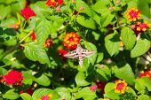 picture of hawk moth  - Hummingbird moth  - JPG