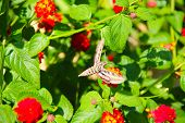 image of hawk moth  - Hummingbird moth  - JPG