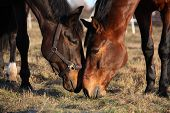 pic of feeding horse  - Two horses eating grass at the pasture together
