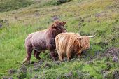 image of highland-cattle  - Highland cattle or Scottish cattle photographed on Isle of Skye - JPG