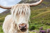 pic of highland-cattle  - Highland cattle or Scottish cattle photographed on Isle of Skye - JPG
